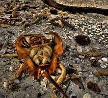 Horshshoe Crab Life Cycles by sailorsedge
