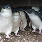 Australian baby penguins huddle for warmth by Michael Boniwell