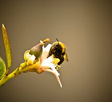 Bumble Bee by CarlK