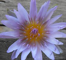 Water Lilly2 by Carol Field