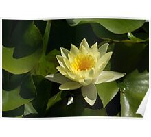 Waterlily in Yellow Poster