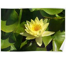 Soft Sunny Yellow - A Waterlily Impression Poster