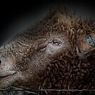 Barbed wire and a sheeps head. by Murray Swift