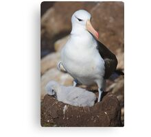 Black-browed Albatross Nesting - Saunders Island, the Falklands Canvas Print
