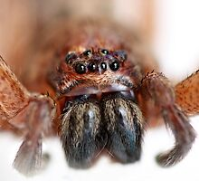 Brown Huntsman Spider, Isopeda vasta? by Normf