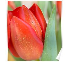 Blooming Tulip with Raindrops Poster
