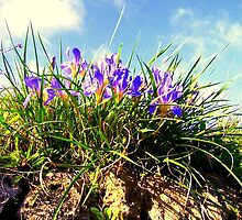 Flowers of Gastouri by fruitcake