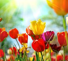 Tulip by christinaree
