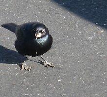 Blackbird by Laurie Puglia