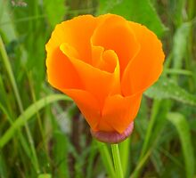 It's Orange Poppy Season #3 by Graham Geldard