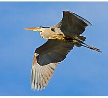 Great Blue Heron 6 Photographic Print