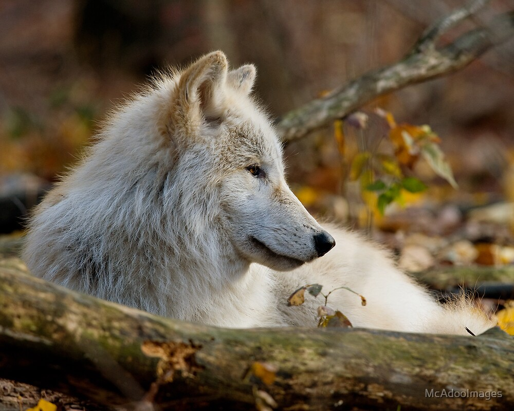 Arctic Wolf Pup by McAdooImages