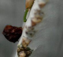 A Tiny Mistletoe is Born by Karen Zimmerman