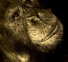 Chimp Portrait by amjaywed