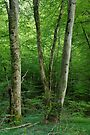 Trees and leaves in Massif des Bauges forest by Patrick Morand