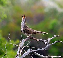 little wattle bird - singing  by GrowingWild