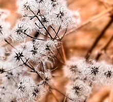 Cow Parsley Seed Heads by James  Key