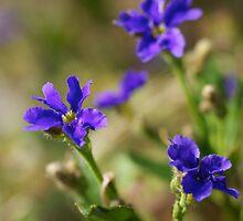blue dampiera by GrowingWild