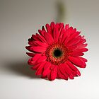 Gerbera Daisy by McAdooImages