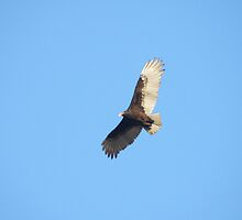 Turkey Vulture by Luann Gingras