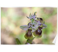 Ophrys tenthredinifera Poster