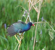 Purple Gallinule by Craig Bernstein