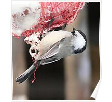 Chickadee Eating Fat  Poster