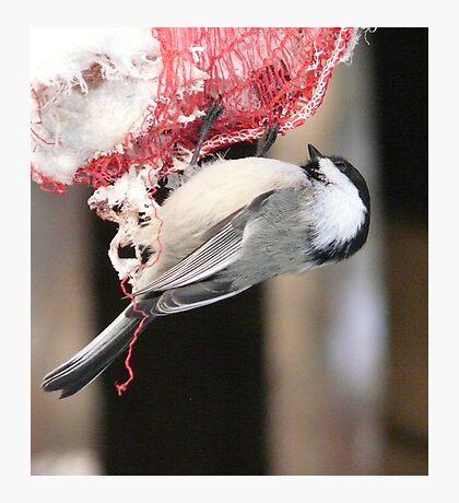 Chickadee Eating Fat  Photographic Print