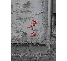 The Red Berry Photographic Print