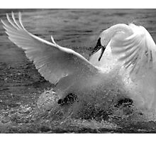 Feather Fight Photographic Print