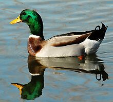 Mallard Duck by Ryan Houston