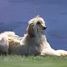 Afghan Hound by Cazzie Cathcart