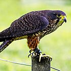 New Zealand Bird of Prey by Robyn Carter