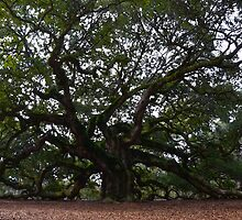 Angel Oak in South Carolina by Catherine Sherman