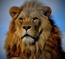 Portrait of a Majestic Proud Male African Lion with Amber Eyes by HotHibiscus