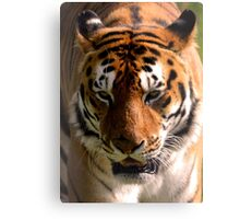 Portrait of the Striped Royal Bengal Tiger of India Canvas Print