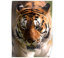 Portrait of the Striped Royal Bengal Tiger of India Poster