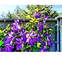 Solina Clematis on Fence Photographic Print