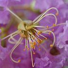 Lilac 1 by Auntymazza