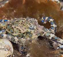 Blue ring octopus  by Stephen Colquitt