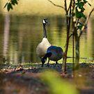 Geese Enjoying the Lake by imagetj