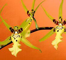 Orchid Dance by Deborah  Benoit