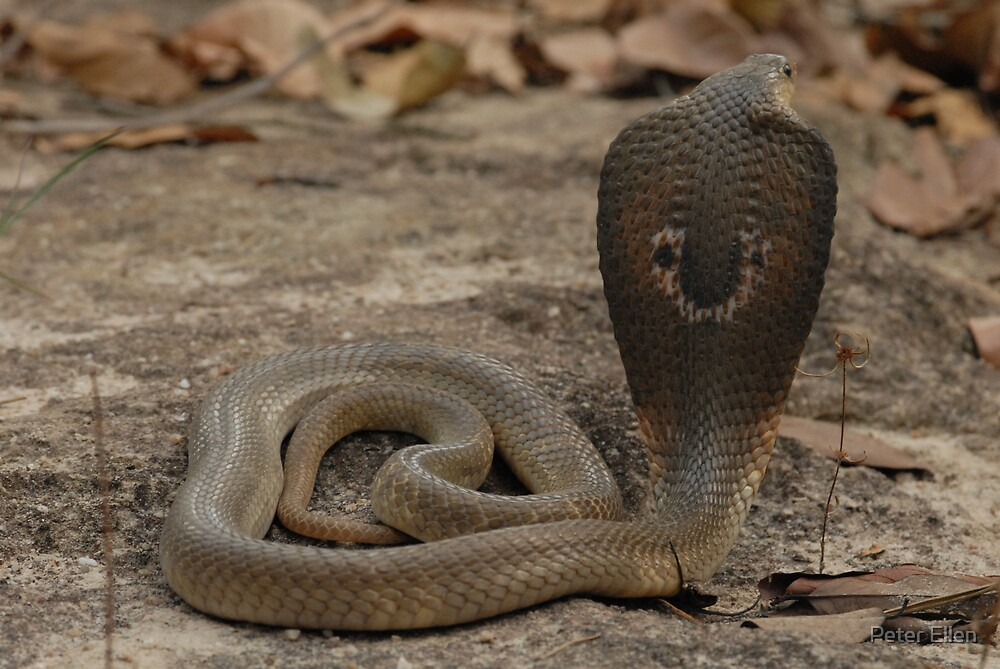 Quot Indo Chinese Spitting Cobra Naja Siamensis Quot By Peter