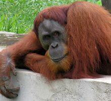 orangutan boredom by 1busymom