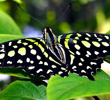 Green and Yellow Spotted Butterfly by Amy McDaniel