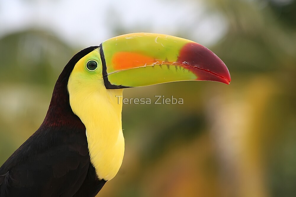 Colorful Tucan by Teresa Zieba
