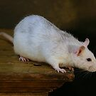 white rat by danapace