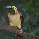 Raggiana Paradise bird  by loiteke