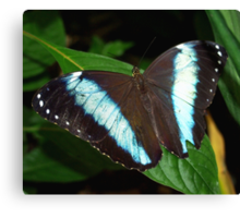 Blue Striped Butterfly Canvas Print