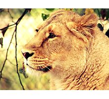 Sunset Lioness Photographic Print